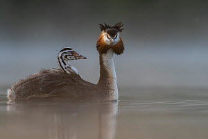 Great crested grebe (Podiceps cristatus) parent bird with chicks on its back, portrait in the first morning light Valkenhorst Nature Reserve, Valkenswaard, The Netherlands. June  -  David Pattyn