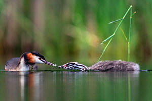 Great crested grebe (Podiceps cristatus) parent bird feeding a feather to one of its young. Valkenhorst Nature Reserve, Valkenswaard, The Netherlands. June  -  David Pattyn