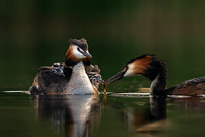 Great crested grebe (Podiceps cristatus) parent bird with chicks on its back while the other parent is feeding the chicks with a fish Valkenhorst Nature Reserve, Valkenswaard, The Netherlands. May  -  David Pattyn