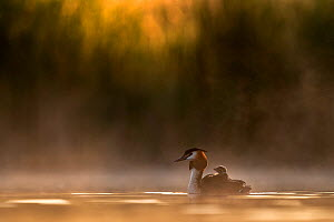 Great crested grebe (Podiceps cristatus) adult with chicks on its back in the first morning light. Valkenhorst Nature Reserve, Valkenswaard, The Netherlands May  -  David Pattyn