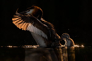 Great crested grebe (Podiceps cristatus) adult grebe shaking chick off its back to go fishing for itself. Valkenhorst Nature Reserve, Valkenswaard, The Netherlands May  -  David Pattyn