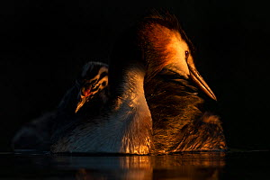 Great crested grebe (Podiceps cristatus) adult with young chick on the back preening in the first morning light Valkenhorst Nature Reserve, Valkenswaard, The Netherlands. May.  -  David Pattyn