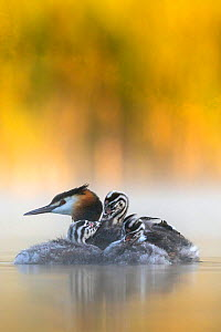 Great crested grebe (Podiceps cristatus) adult with young chicks in the first morning light Valkenhorst Nature Reserve, Valkenswaard, The Netherlands.  -  David Pattyn
