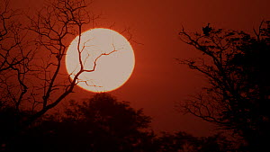 White backed vulture (Gyps africanus) perched in a tree silhouetted against the setting sun, Okavango Delta, Botswana.  -  Neil Aldridge