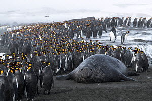 King penguins (Aptenodytes patagonicus) congregate on the beach, seeking a safe point to go into the sea, with male Southern elephant seals (Mirounga leonina) blocking their path. St Andrew's Bay,...  -  Ben Cranke