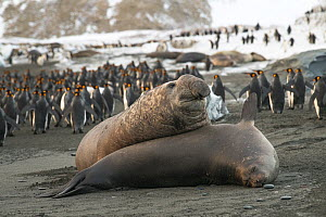 Southern elephant seal (Mirounga leonina) male, traps a much smaller female with his body weight, in the hope of mating with her. St Andrew's Bay, South Georgia Island  -  Ben Cranke