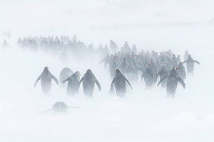 King penguins (Aptenodytes patagonicus) congregate in winding columns seeking shelter, as winds blow spindrift and a blizzard sets in. St Andrew's Bay, South Georgia Island  -  Ben Cranke