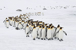 A winding column of King penguins (Aptenodytes patagonicus) commute to the breeding colony. St Andrew's Bay, South Georgia Island  -  Ben Cranke