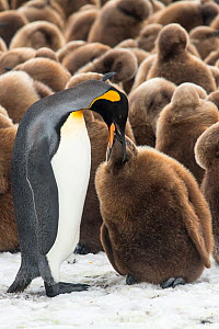 An adult King penguin (Aptenodytes patagonicus) feeding its chick in front of a creche of chicks. Fortuna Bay, South Georgia Island  -  Ben Cranke