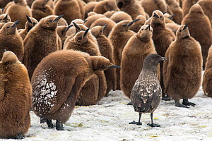 King penguin (Aptenodytes patagonicus) chicks gather to defend themselves against a nearby Brown skua (Stercorarius antarcticus). Fortuna Bay, South Georgia Island  -  Ben Cranke