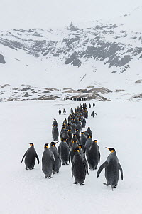 King penguins (Aptenodytes patagonicus) gather and walk in a column towards the breeding colony. Fortuna Bay, South Georgia Island  -  Ben Cranke
