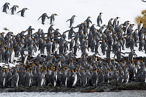 King penguins (Aptenodytes patagonicus) congregate on the coast, before going to sea. Right Whale Bay, South Georgia Island  -  Ben Cranke