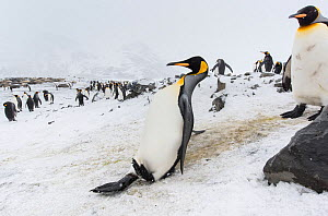 King penguin (Aptenodytes patagonicus) slipping and sliding on an icy slope. St Andrew's Bay, South Georgia Island  -  Ben Cranke