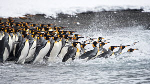 King penguins (Aptenodytes patagonicus) gather in a tight group, as they go to sea. Right Whale Bay, South Georgia Island  -  Ben Cranke