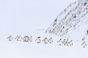 King penguins (Aptenodytes patagonicus) walking to the ocean in a winding column. Right Whale Bay, South Georgia Island  -  Ben Cranke