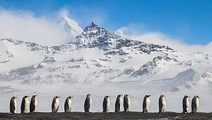 King penguins (Aptenodytes patagonicus) commute to their breeding colony in single file.. St Andrew's Bay, South Georgia Island  -  Ben Cranke