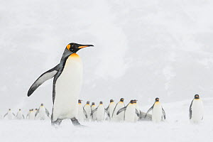 King penguins (Aptenodytes patagonicus) commute to their breeding colony during a snow storm. St Andrew's Bay, South Georgia Island  -  Ben Cranke