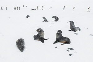 Antarctic fur seals (Arctocephalus gazella) play with each other during heavy snow fall, with King penguins (Aptenodytes patagonicus) in the background. St Andrew's Bay, South Georgia Island.  -  Ben Cranke