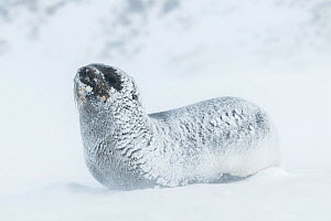 Snow and ice covered Antarctic fur seal (Arctocephalus gazella) rests as winds blow spindrift across the ground. St Andrew's Bay, South Georgia Island  -  Ben Cranke