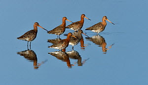 Black-tailed godwit (Limosa limosa) group foraging in water, Vendeen Marsh,Vendee, France, Europe.  -  Loic Poidevin