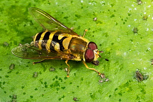 Hoverfly (Syrphus ribesii) male, a wasp mimic, resting on leaf with small bugs.  -  Chris Mattison