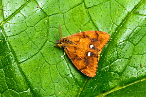 Vapourer moth (Orgyia antiqua) male resting on leaf. Females of this species are wingless, Catbrook, Monmouthshire, Wales, UK.  -  Chris Mattison