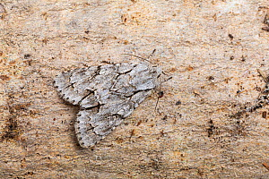 Grey dagger moth (Acronicta psi) resting on wood, August, Catbrook, Monmouthshire, Wales, UK.  -  Chris Mattison