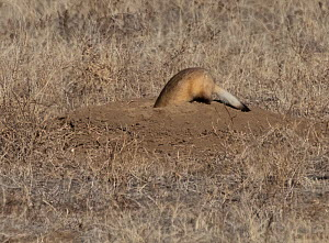 Black-footed ferret (Mustela nigripes) hunting with head down prairie dog burrow, Rocky Mountain Arsenal Wildlife Refuge, Colorado, USA.  -  Charlie Summers