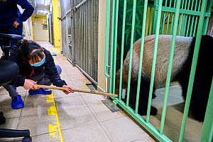 Mao Min, Chinese keeper collecting urine from Huan Huan, pregnant female panda (Ailuropoda melanoleuca). Beauval ZooParc, Saint-Aignan, France. August 2021. Editorial use only.  -  Eric Baccega