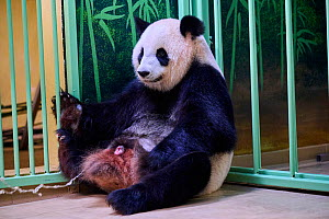 Giant panda (Ailuropoda melanoleuca) female, Huan Huan, waters breaking before birth, Beauval ZooParc, Saint-Aignan, France. 2 August 2021. Editorial use only.  -  Eric Baccega