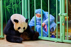 Keeper Mao Min trying to remove newborn baby Giant panda (Ailuropoda melanoleuca) from female Huan Huan for care. Beauval ZooParc, France 2 August 2021. Editorial use only.  -  Eric Baccega