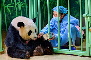 Keeper Mao Min feeding Giant panda (Ailuropoda melanoleuca) female Huan Huan, whilst removing new baby. Beauval ZooParc, France August 2021. Editorial use only.  -  Eric Baccega