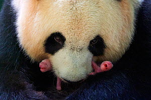 Giant panda (Ailuropoda melanoleuca) female, Huan Huan, holding her female twin newborn babies, Beauval ZooParc, France 2 August 2021. Editorial use only.  -  Eric Baccega
