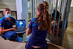 Giant panda (Ailuropoda melanoleuca) female, Huan Huan, undergoing an ultrasound scan by veterinarian, Lucie Brisson. Taken one week before the birth of the babies. Beauval ZooPark, France. July 2021....  -  Eric Baccega