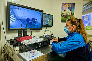 Video monitoring of a Giant panda (Ailuropoda melanoleuca) by Cassandra Millet, keeper of the panda unit. Beauval ZooParc, Saint-Aignan, France. August 2021. Editorial use only.  -  Eric Baccega