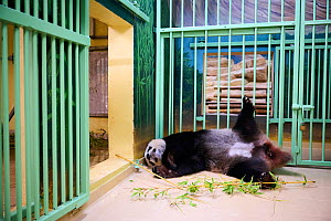 Giant panda (Ailuropoda melanoleuca) female, Huan Huan, sleeping before giving birth . Beauval ZooParc, Saint-Aignan, France. 2 August 2021. Editorial use only.  -  Eric Baccega
