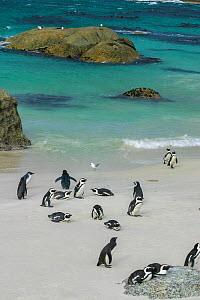 African / Jackass penguin (Spheniscus demersus) colony at Boulders Beach, Simons Town, Cape Town, Western Cape, South Africa.  -  David Fleetham