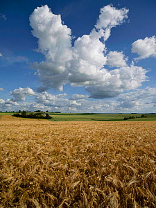 Cumulus cloud above field of ripe Barley near harvest, Picardy, France, June 2020.  -  Pascal  Tordeux
