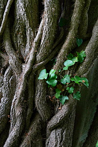 Ivy (Hedera helix) growing on tree, Saint Gobain forest, France, June 2020.  -  Pascal  Tordeux