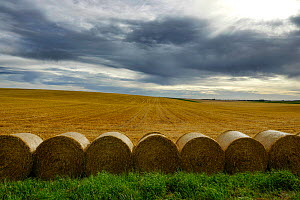 Harvested field with line of large round bales of straw, Faucouzy, Picardy, France, July 2020.  -  Pascal  Tordeux