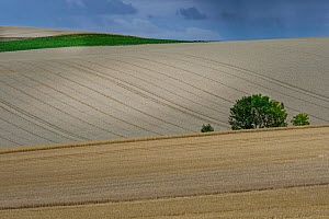 Field of ripe wheat, Aisne, Picardy, France, July 2020.  -  Pascal  Tordeux