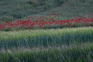 Barley field with Poppies (Papaver rhoeas), Sains Richaumont, Picardy, France, June 2020.  -  Pascal  Tordeux