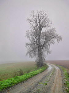 Large frost covered Elm tree (Ulmus) growing at edge of field along country lane in winter, Villers Le Sec, Picardy, France  -  Pascal  Tordeux