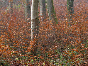 Beech forest (Fagus sylvatica) in winter, Saint Gobain forest, Picardy, France, December 2020.  -  Pascal  Tordeux