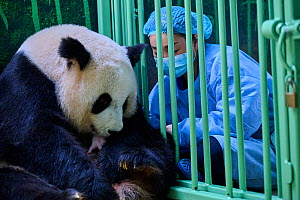 Keeper (Mrs Mao Min) helping Giant panda (Ailuropoda melanoleuca) female Huan Huan to nurse her female baby. Beauval ZooPark, France. 3 August 2021. Editorial use only.  -  Eric Baccega