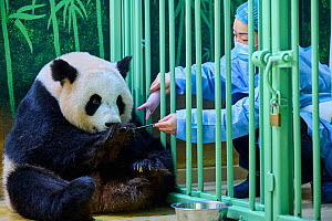 Keeper ( Mrs Mao Min) feeding Giant panda (Ailuropoda melanoleuca) female Huan Huan, whilst removing baby. Beauval ZooPark, France. 3 August 2021. Editorial use only.  -  Eric Baccega