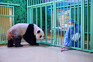 Keeper (Mrs. Mao Min) giving back female newborn Giant panda (Ailuropoda melanoleuca) to its mother Huan Huan for nursing. Beauval ZooPark, France. Image 2 of sequence of 9. 3 August 2021. Editorial u...  -  Eric Baccega