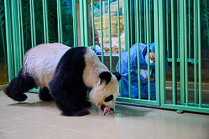 Keeper (Mrs. Mao Min) giving back female newborn Giant panda (Ailuropoda melanoleuca) to its mother Huan Huan for nursing. Beauval ZooPark, France. Image 4 of sequence of 9. 3 August 2021. Editorial u...  -  Eric Baccega