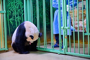 Keeper (Mrs. Mao Min) giving back female newborn Giant panda (Ailuropoda melanoleuca) to its mother Huan Huan for nursing. Beauval ZooPark, France. Image 8 of sequence of 9. 3 August 2021. Editorial u...  -  Eric Baccega