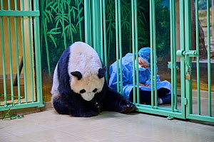 Keeper (Mrs. Mao Min) watching Giant panda (Ailuropoda melanoleuca) mother Huan Huan holding her baby. Beauval ZooPark, France. Image 9 of sequence of 9. 3 August 2021. Editorial use only.  -  Eric Baccega